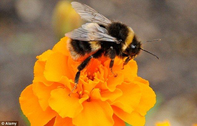 Abejas y Demencia: ¿Podrían las abejas mayores proporcionar la respuesta a la demencia cura?