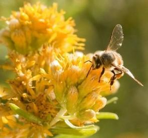 Abeja y alzheimer: ¿Podrían las abejas mayores proporcionar la respuesta a la cura, Alzheimer?