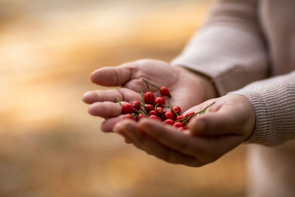 frutas de rosa mosqueta sobre manos de persona