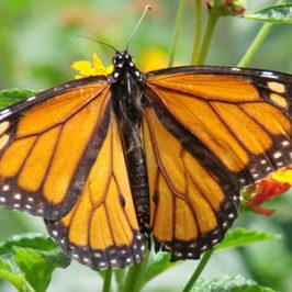 Mariposa Monarca Enfrenta Riesgo de Extinción,   VIDEOS…Historia – Mariposa Monarca, Neil Young-Monsanto Years